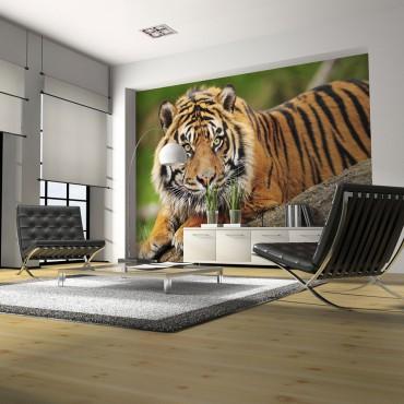 Fotomural - Tigre de Sumatra